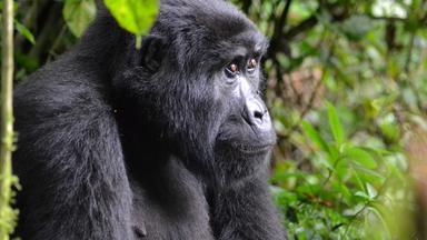 Nano - Coronaschutz Für Berggorillas In Uganda
