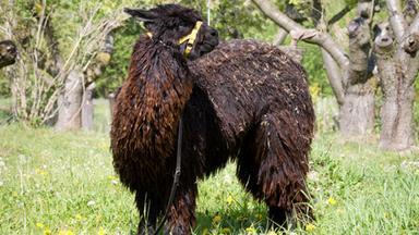 Löwenzähnchen - Löwenzähnchen: Alpaka