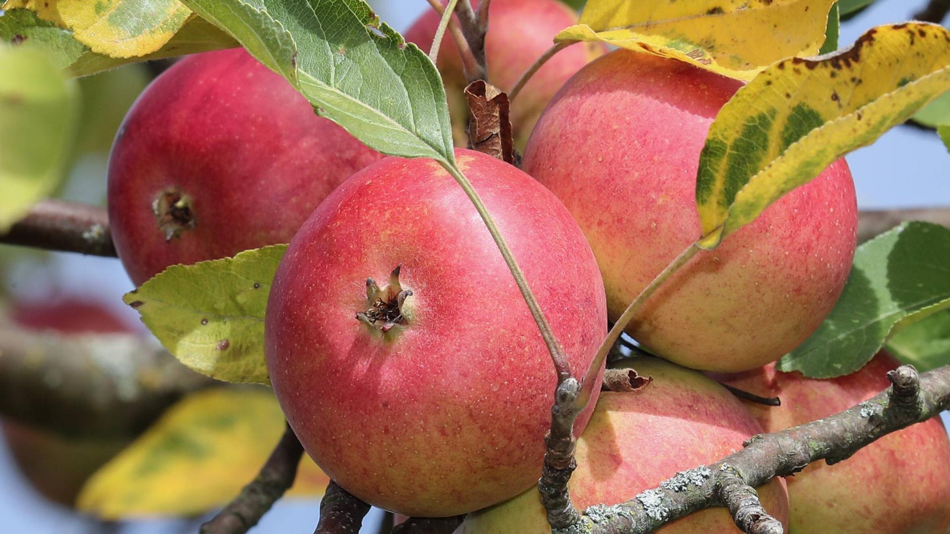 Verbraucher | Volle Kanne   Apfelbäume Pflanzen Und Pflegen