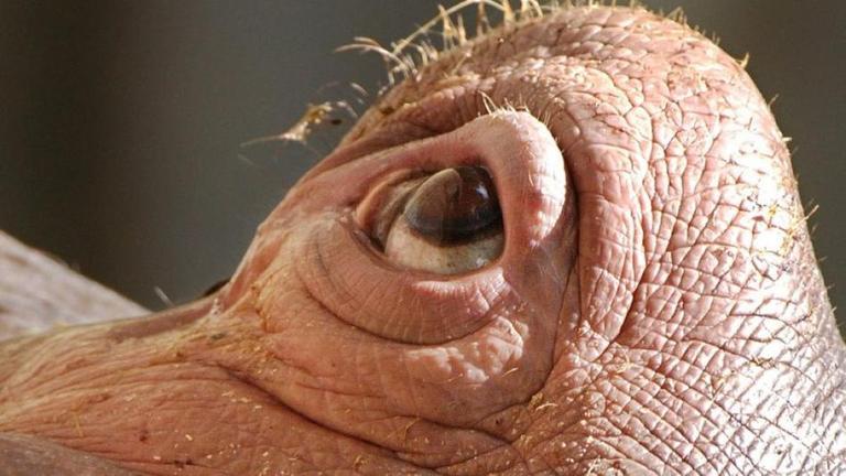 Auge eines Flußpferds