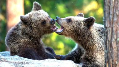 Löwenzähnchen - Löwenzähnchen: Bär