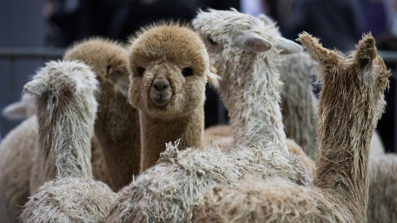 Spray gegen Corona Corona Medikament dank Alpakas   ZDFheute