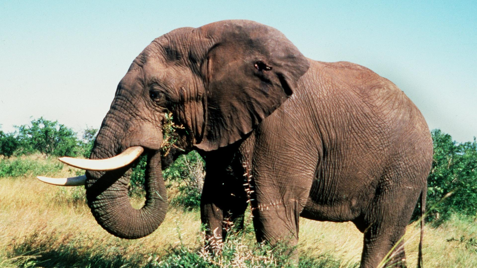 Wie lange dauert eine schwangerschaft bei elefanten