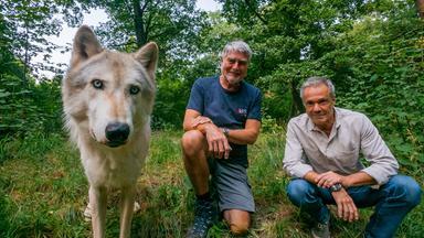 Dokumentation - Hannes Jaenicke: Im Einsatz Für Den Wolf
