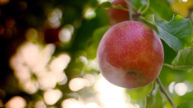 Zdfzoom - Der Wahre Preis Für Den Perfekten Apfel