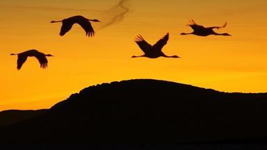Terra X Dokumentationen Und Kurzclips - Zugvögel: Kundschafter In Fernen Welten