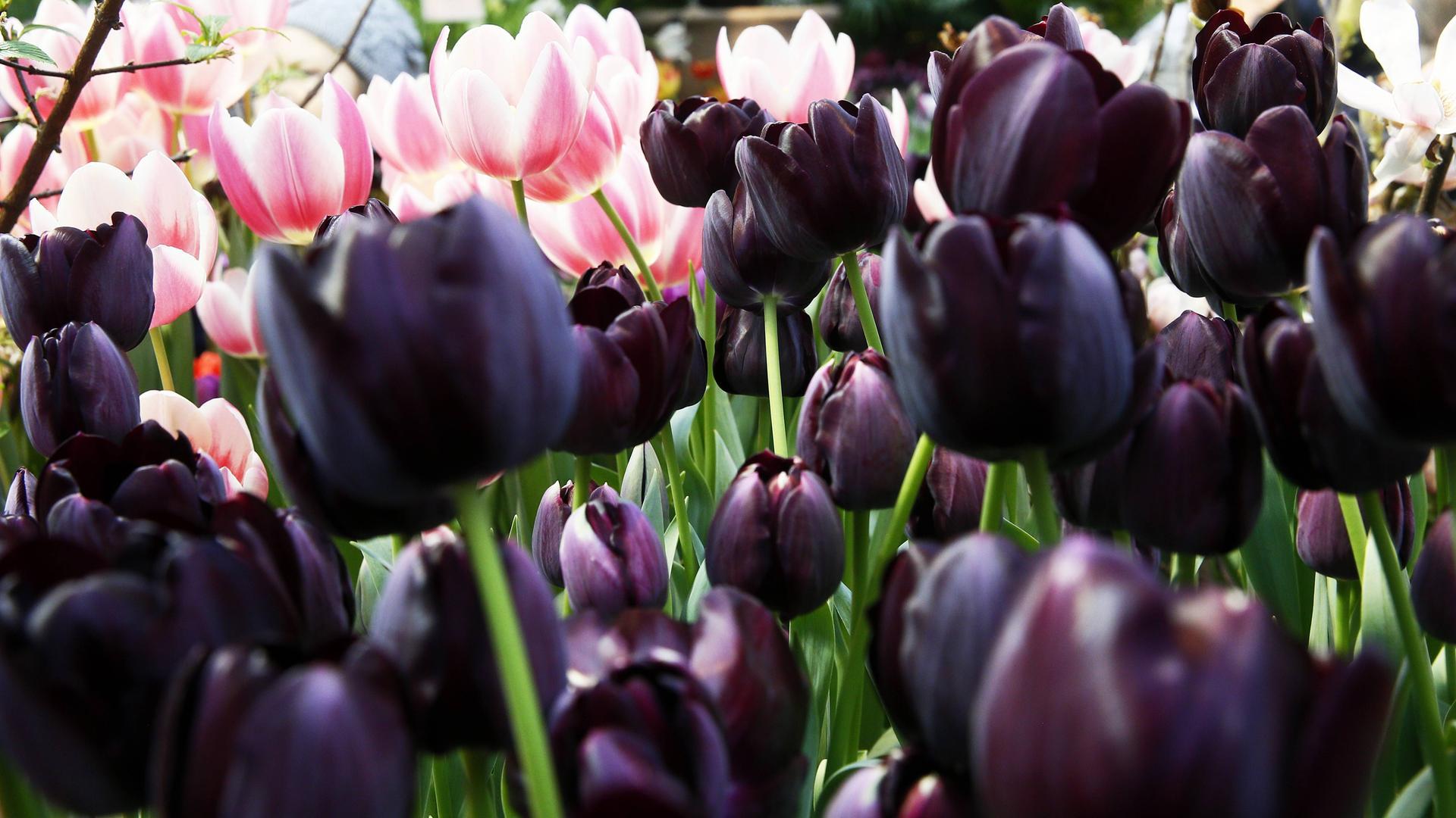Frühjahrsrausch mit Tulpen und Dahlien - ZDFmediathek