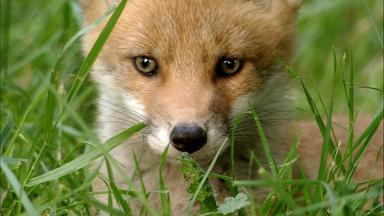 Löwenzähnchen - Löwenzähnchen: Fuchs