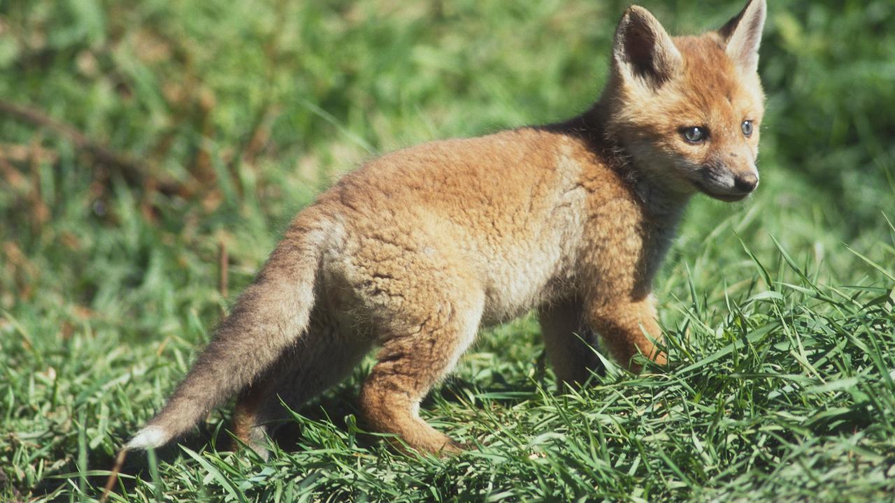 Ansmann Led Nachtlicht Fuchs Susse Einschlafhilfe Mit Sensor Touch