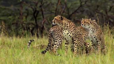 Zdfinfo - Die Geheime Welt Der Raubtiere - überlebenskünstler