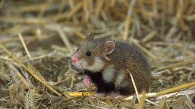 Löwenzähnchen - Löwenzähnchen: Hamster