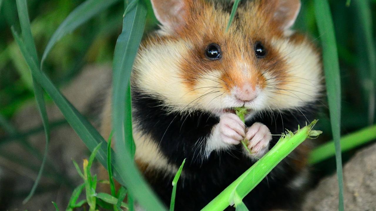 Hamster Mit Dicken Backen