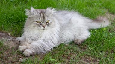 Löwenzähnchen - Löwenzähnchen: Katze