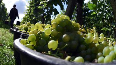 Weinlese von Weißweintrauben