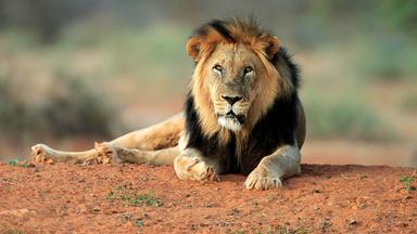 Löwenzähnchen - Löwenzähnchen: Löwe