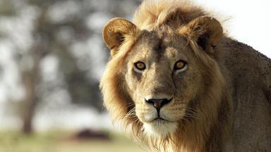 Terra X Dokumentationen Und Kurzclips - Serengeti (3/3): Zeit Der Bewährung