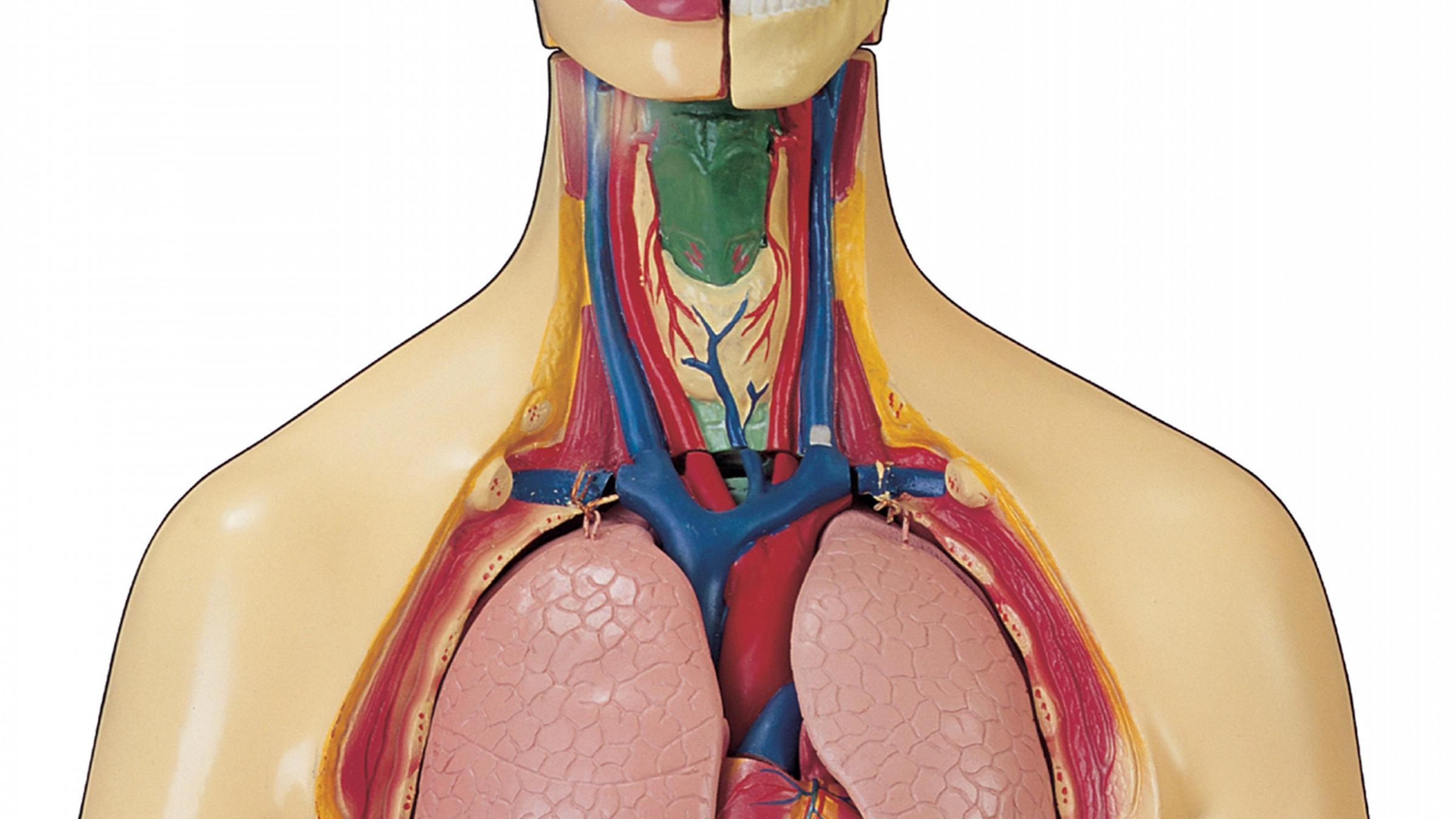 Lage Organe Mensch