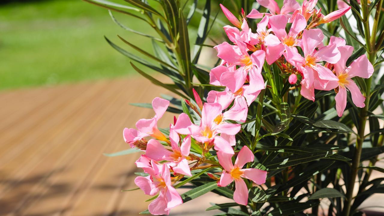 sonnenhungrige sch nheiten hibiskus und oleander zdfmediathek. Black Bedroom Furniture Sets. Home Design Ideas