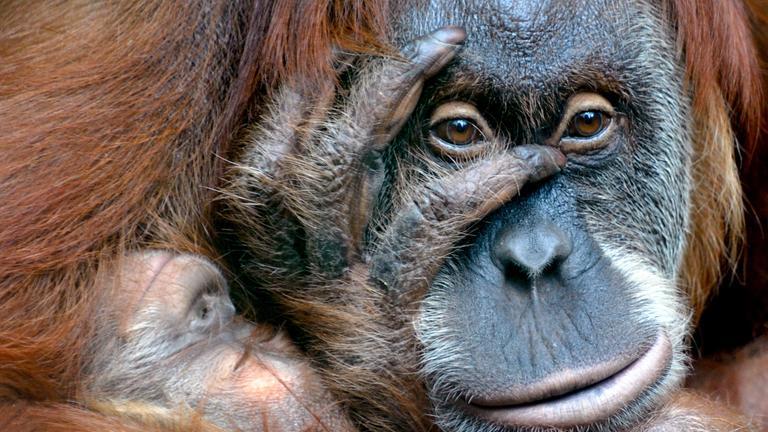 Orangutan Weibchem mit Jungem