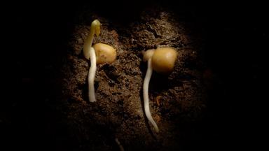 Keimlinge wurzeln im Boden