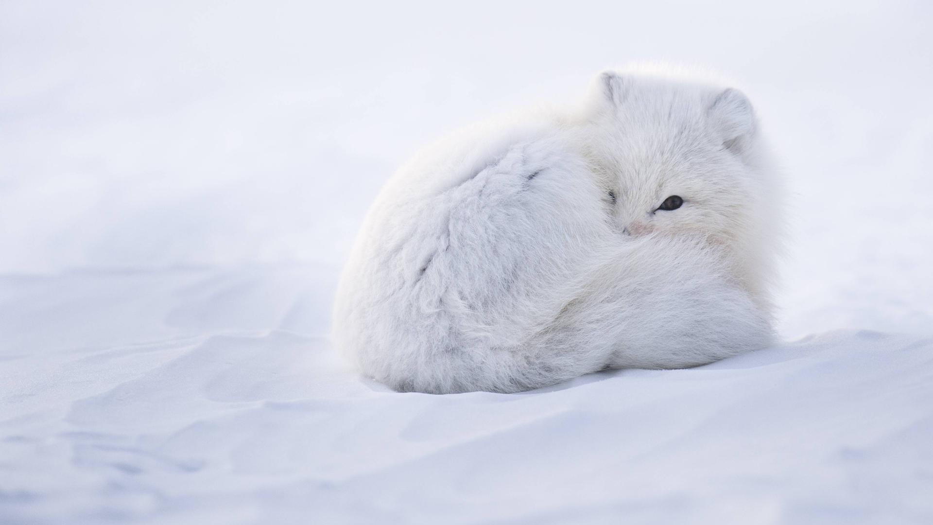 Ganz und zu Extrem Tiere der Arktis - ZDFmediathek &CG_63