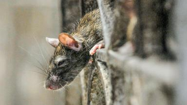 Pur+ - Das Entdeckermagazin Mit Eric Mayer - Pur+ Ratten