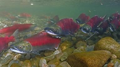 Planet E. - Kamtschatka - Im Bann Der Roten Fische