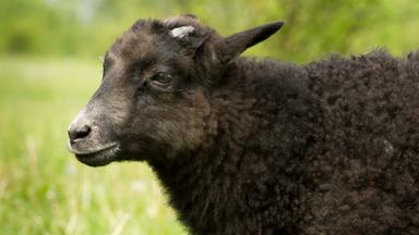 Löwenzähnchen - Löwenzähnchen: Schaf