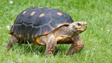 Löwenzähnchen - Löwenzähnchen: Schildkröte