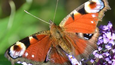 Löwenzähnchen - Löwenzähnchen: Schmetterling