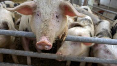 Zdfzoom - Schweinerei Im Schlachthof
