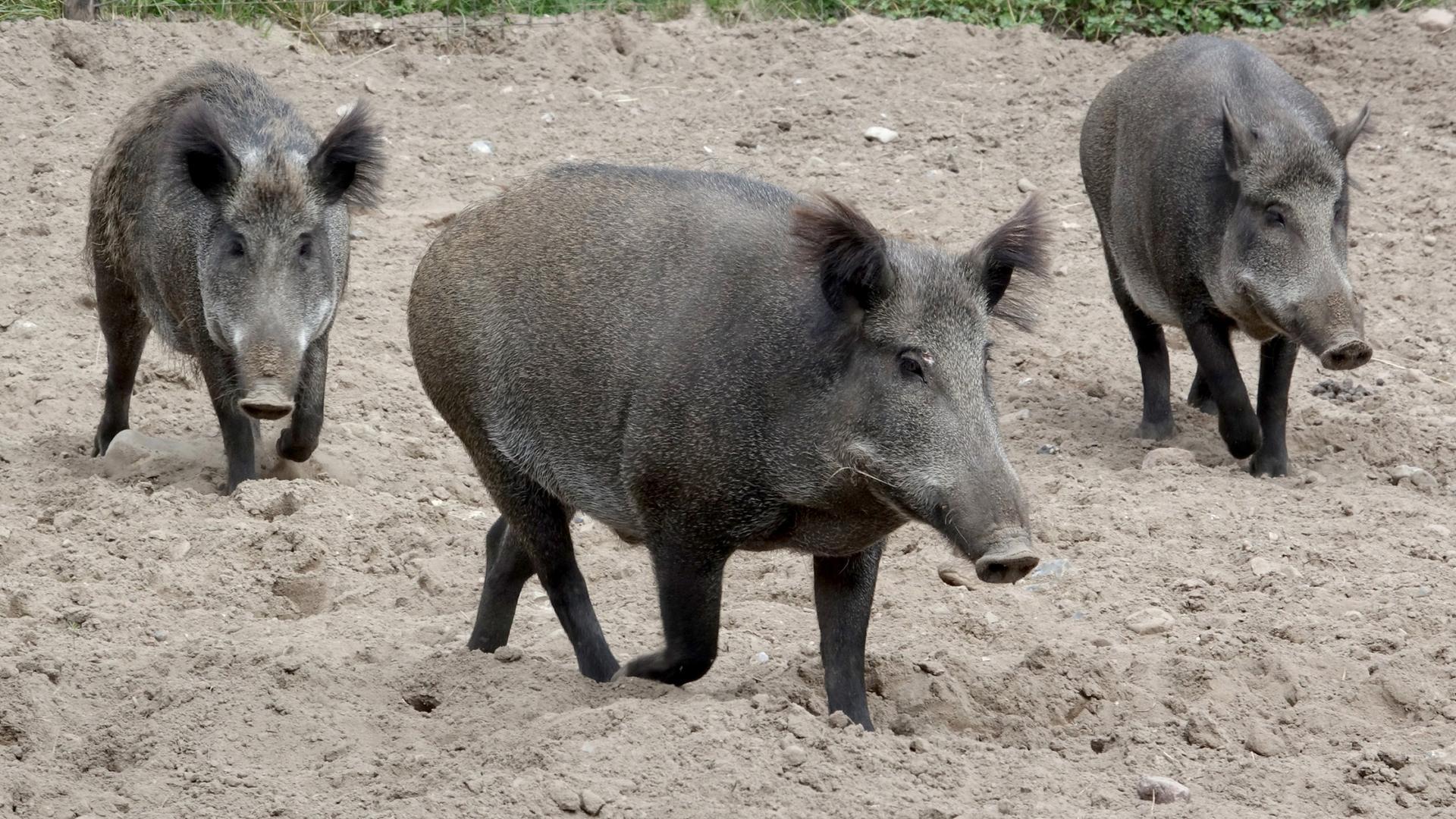 Angst Vor Schweinepest Danemark Baut Zaun Gegen Wildschweine