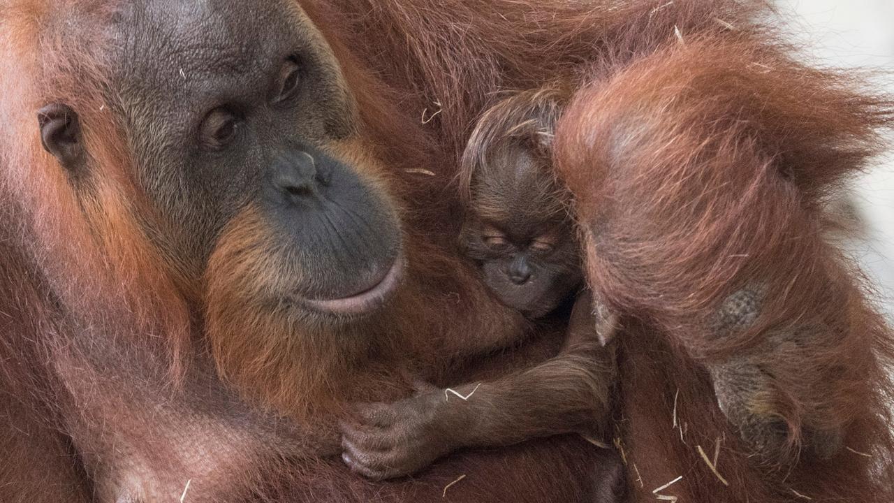 Frankfurter Zoo: Orang-Utan-Nachwuchs präsentiert - ZDFmediathek