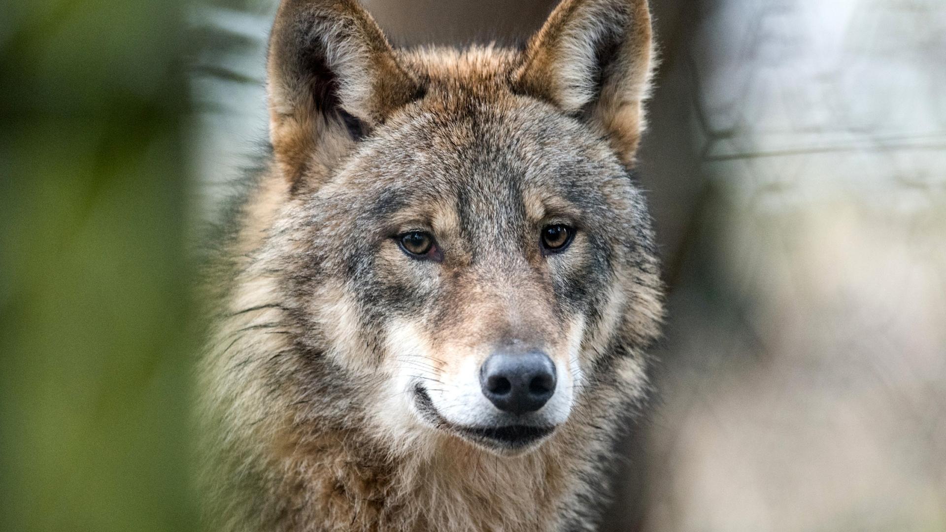 Schätzung vom Jagdverband: Über 1.000 Wölfe zum Jahresende ...