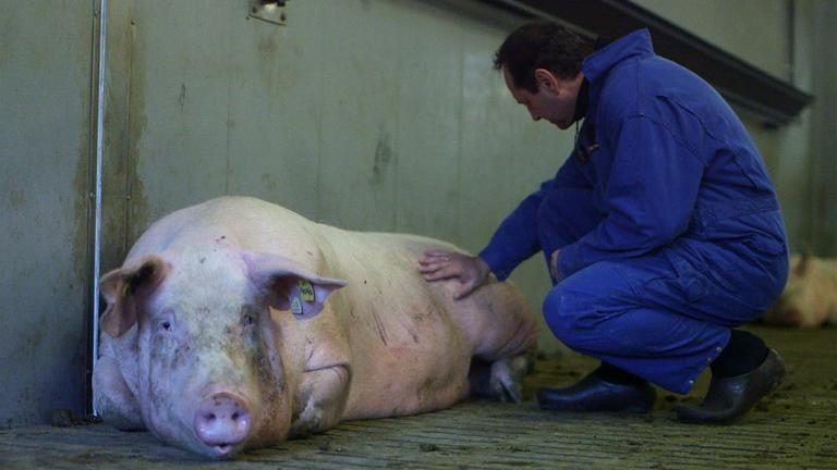 Schwein wird begutachtet