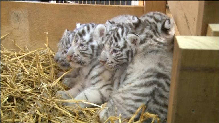 Tigerbabies im heu