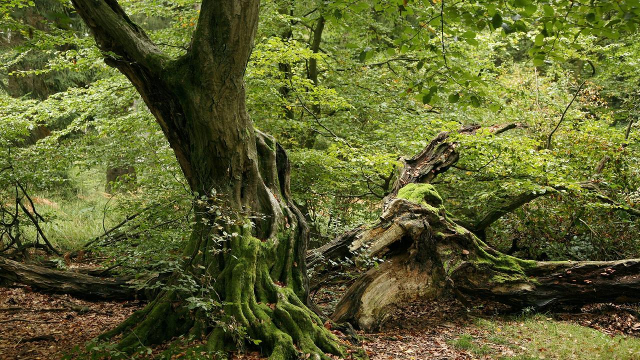 rumäniens urwald in gefahr  zdfheute