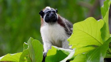 Zdfinfo - Wildes Zentralamerika: In Panamas Wäldern