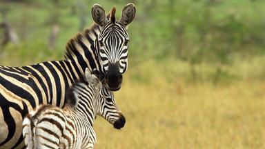 Terra X Dokumentationen Und Kurzclips - Serengeti - Helden Der Savanne